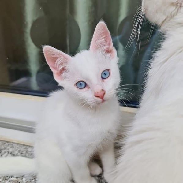 filhote de gato angorá branco de olho azul