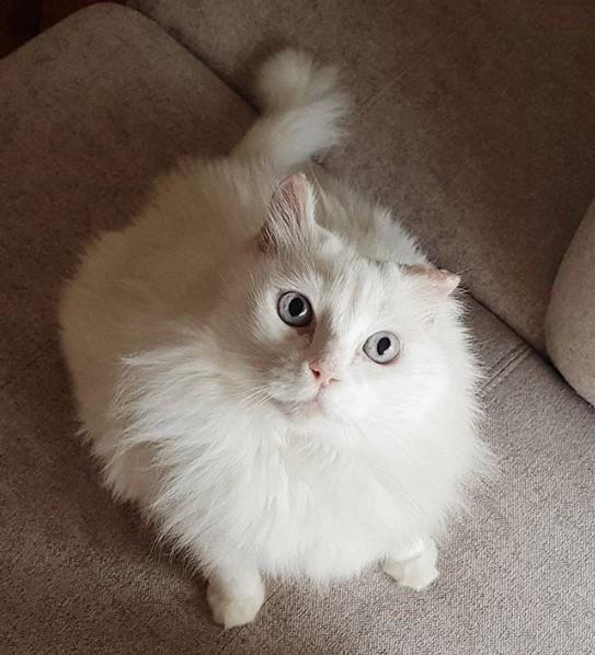 gato angorá de pelagem branca