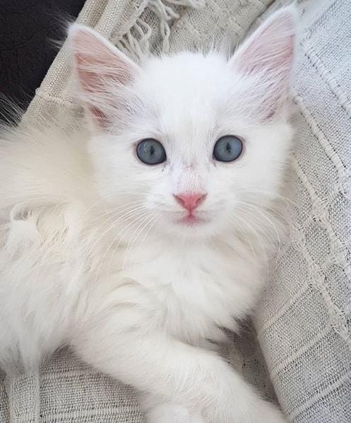 filhote de gato turco com olho azul