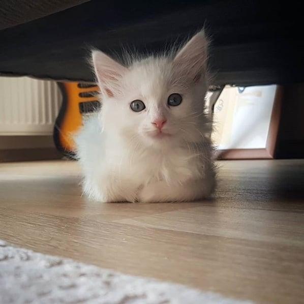 gatinho turco branco
