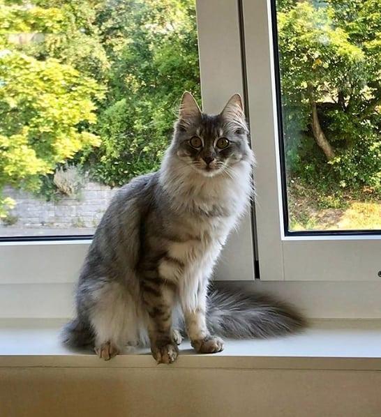 gato turco cinza e rajado