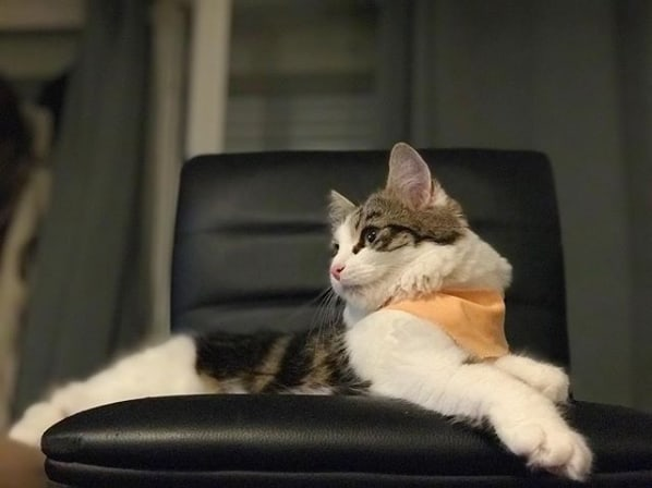 gato turco com pelagem rajada