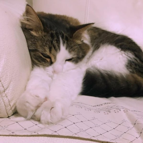 gato angorá rajado