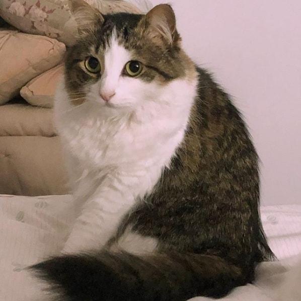 gato turco grande e rajado
