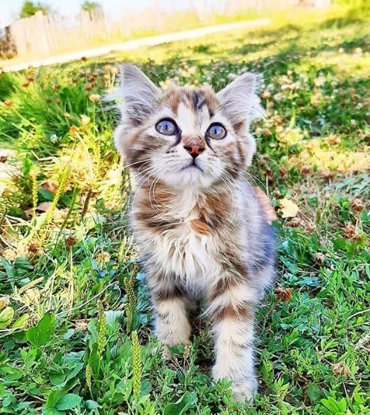 filhote de gato angorá rajado