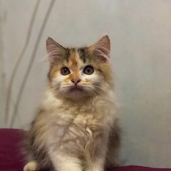 filhote de gato turco rajado
