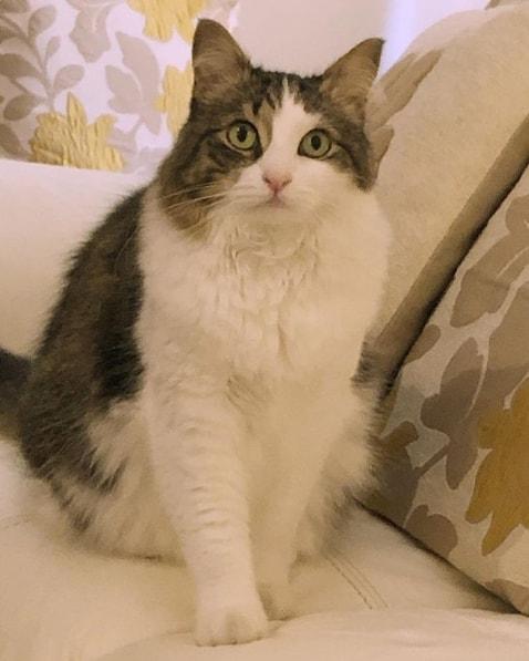 gato turco com pelagem branca e cinza rajada