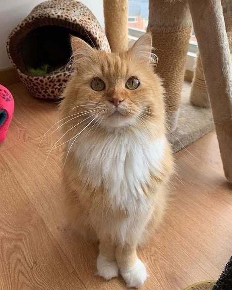gato turco amarelo e branco