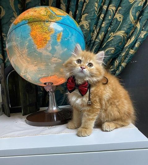 filhote de gato turco laranja
