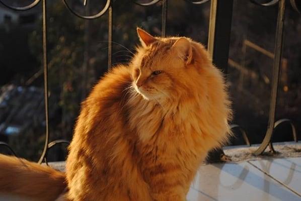 gato turco alaranjado