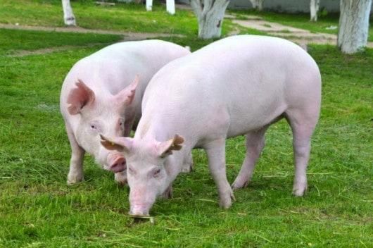dicas para criar porcos caipiras