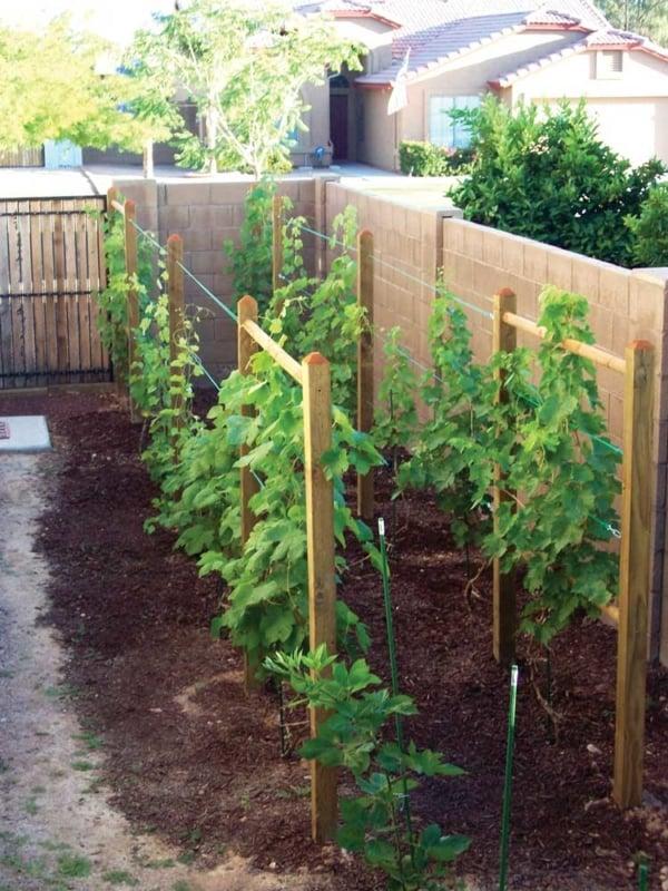 melhor local para plantar uva