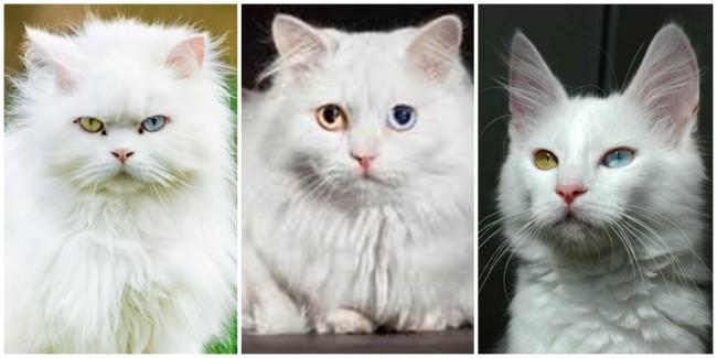 problemas de saúde que gato angorá pode desenvolver