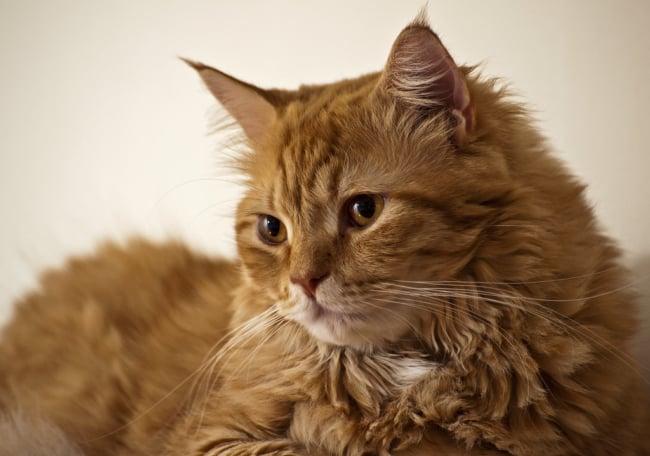 gato turco de pelo laranja e olho caramelo