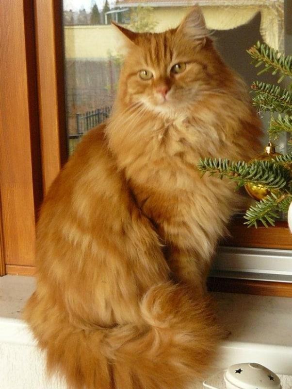 gato turco de pelo laranja