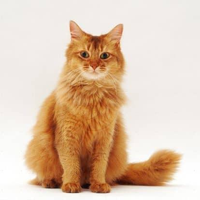 raça de gato alaranjado
