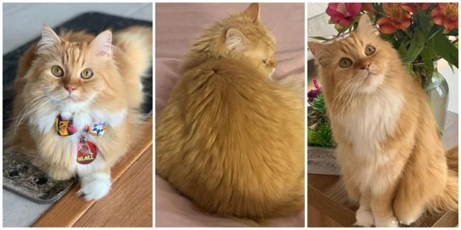 perfil para seguir de gato turco