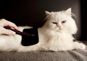 cuidados com gato angorá