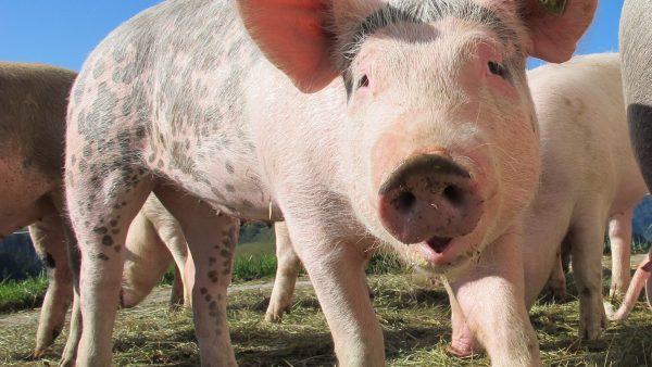cuidados na criação de porco caipira
