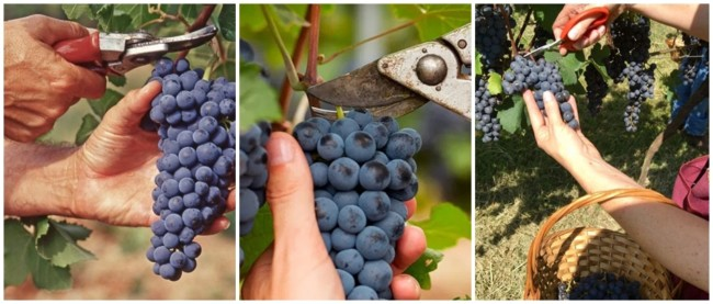 dicas para colheita de uvas