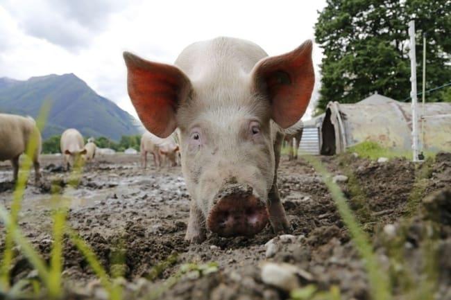 dicas de alimentação para porco caipira