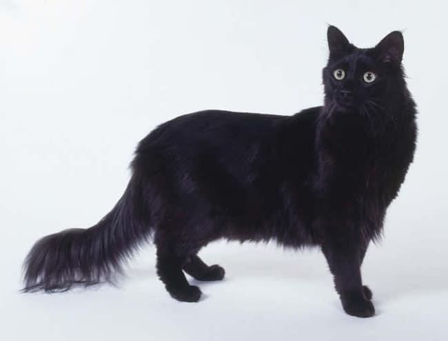 gato angorá preto de olho verde