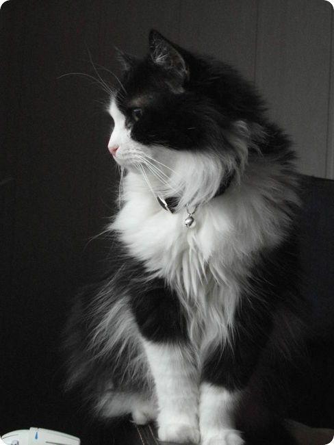 gato angorá preto e branco