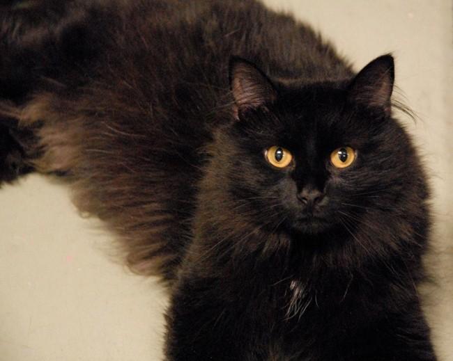 gato angorá preto com olhos caramelo