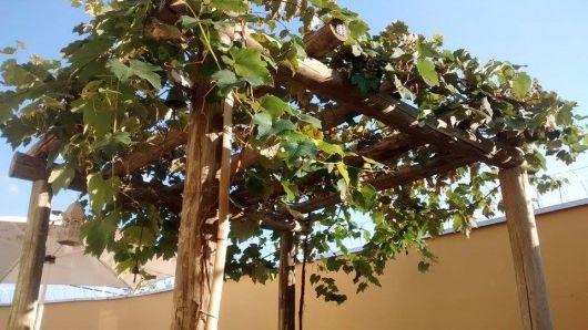 sistema latada de uva em pergolado
