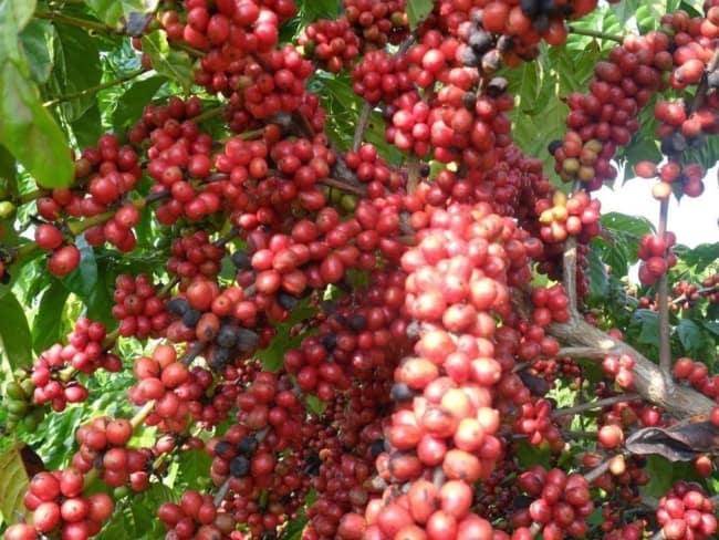 cafe para sementes