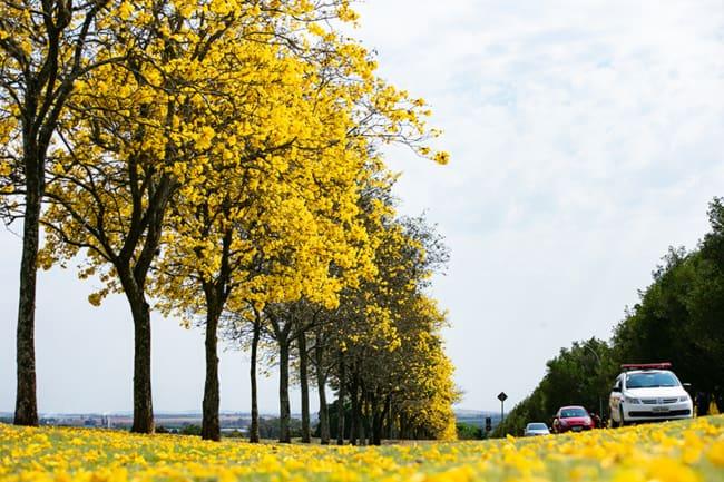 Ipe amarelo e muito usado sobretudo no paisagismo