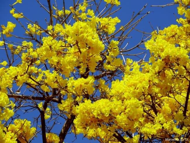 Ipe amarelo e uma das especies mais lindas
