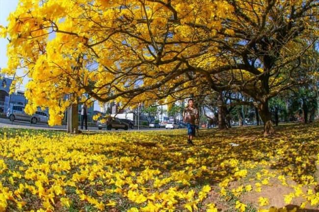Ipe amarelo forma um belo tapete natural
