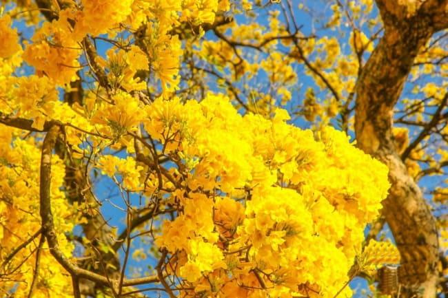 Ipe amarelo no detalhe das suas flores