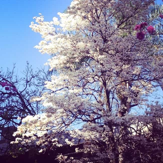 Ipe branco deixa o paisagismo com cara mais clean
