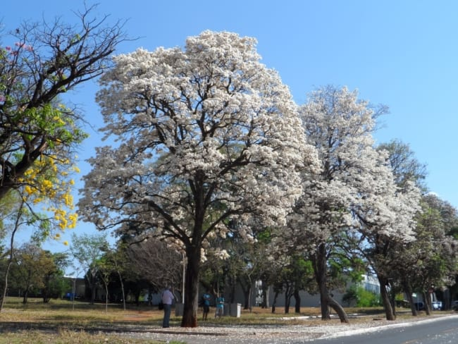 Ipe branco uso no paisagismo de parques e uma linda opcao