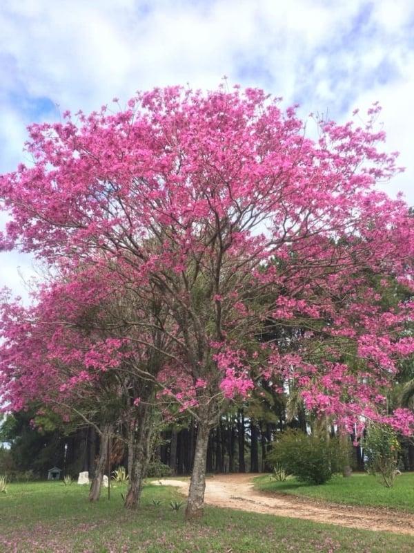 Ipe rosa carregam para o ambiente uma otima paisagem viva