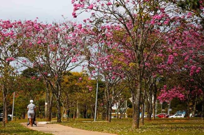 Ipe rosa faz toda diferenca na beleza do ambiente