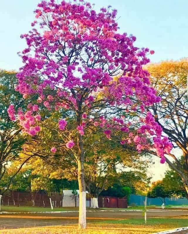 Ipe rosa faz uma grande diferenca na paisagem do ambiente