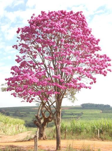 Ipe rosa no campo ganhando destaque no ambiente