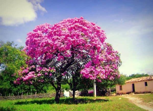Ipe rosa no paisagismo e uma otima opcao