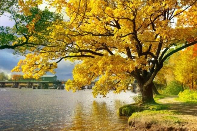 O ipe amarelo e uma das flores mais lindas do paisagismo