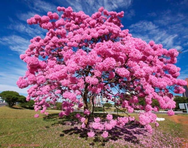 Uso do ipe rosa em parques tambem da um charme especial