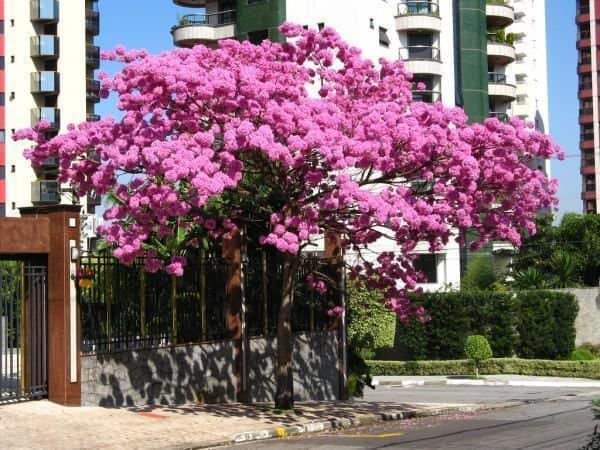 Uso do ipe rosa empregado na calcada das cidades