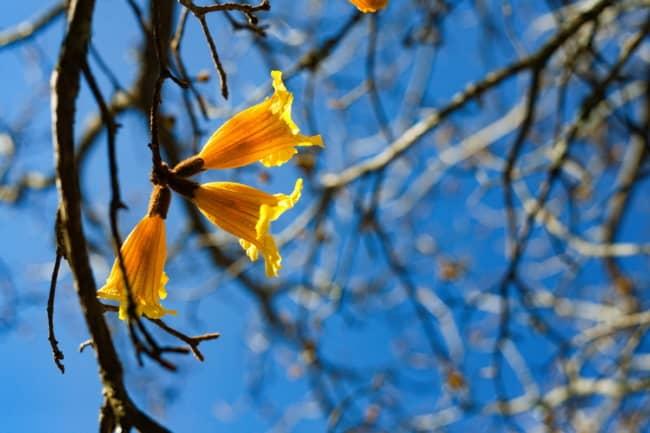 Veja no detalhe a flor do ipe amarelo