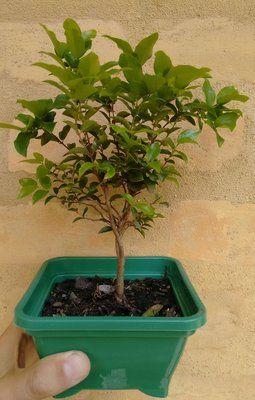 muda jabuticaba