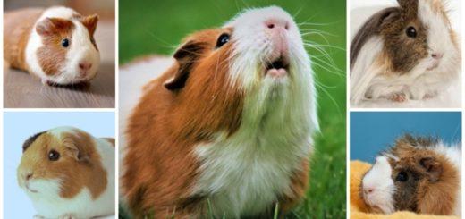 dicas sobre porquinho da india