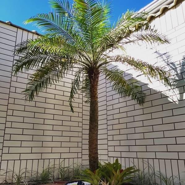 caracteristicas da palmeira phoenix
