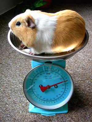 tamanho e peso de porquinho da india