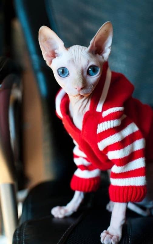 gato com casaco de frio